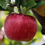 der Apfel la manzana